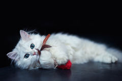 White cat chinchilla. Fluffy cute pet animal with Stock Image