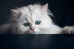 White cat chinchilla. Fluffy cute pet animal with Stock Image