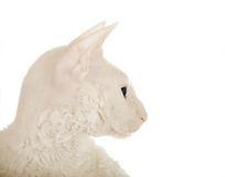 White cat (close-up) Stock Photos