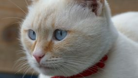 White cat close up face blue eyes portrait of the stock video