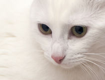 White cat close up Stock Image