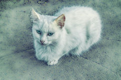 White cat royalty free stock photos
