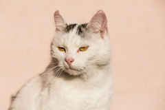 White cat closeup Stock Photography