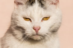 White cat closeup Royalty Free Stock Images