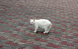 White cat on a cloudy day. Closeup Royalty Free Stock Photos