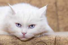 White cat on  couch Stock Images