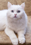 White cat on  couch Stock Photography