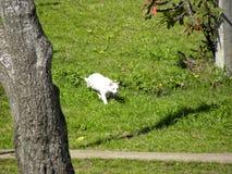 A white cat creeping through the grass stock photos