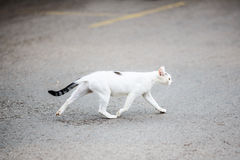 White cat crossing road Stock Photo