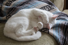 White cat curled up on couch Stock Photos
