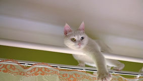 White cat on curtain rod Royalty Free Stock Photos