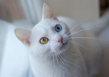 White cat. White cute cat with beautiful eyes Stock Image