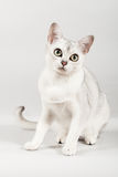 White cat. Cute white cat front sitting Stock Photography