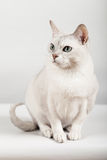 White cat. Cute white cat front sitting Royalty Free Stock Image