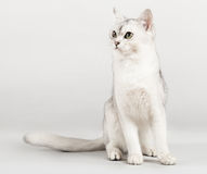 White cat. Cute white cat front sitting Royalty Free Stock Photos