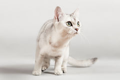 White cat. Cute white cat front standing Stock Image