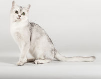 White cat. Cute white with grey cat sitting Stock Image