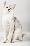 White cat. Cute white with grey cat sitting Royalty Free Stock Images