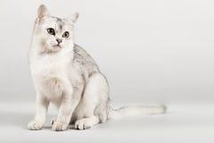 White cat. Cute white with grey cat sitting Stock Photo