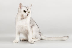 White cat. Cute white with grey cat sitting Stock Photography