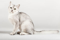 White cat. Cute white with grey cat sitting Royalty Free Stock Photography