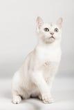 White cat. Cute white kitten front sitting Stock Photos