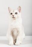 White cat. Cute white kitten front sitting Stock Images