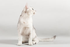 White cat. Cute white kitten front sitting Royalty Free Stock Photography