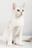 White cat. Cute white kitten front sitting Royalty Free Stock Photos