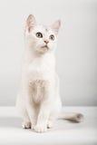 White cat. Cute white kitten front sitting Stock Image