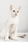 White cat. Cute white kitten front sitting Royalty Free Stock Image