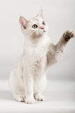 White cat. Cute white kitten with one paw up Royalty Free Stock Photos