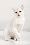 White cat. Cute white with kitten sitting Royalty Free Stock Photo