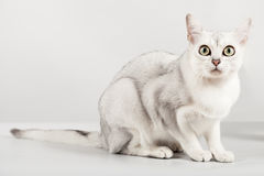White cat. Cute white cat sitting and looking with interest Stock Image