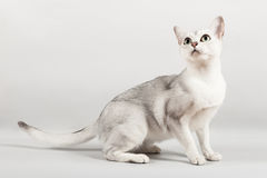 White cat. Cute white cat standing and looking Royalty Free Stock Photo
