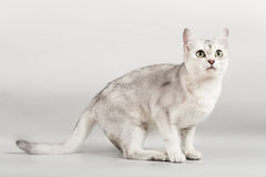 White cat. Cute white cat standing an looking with interest Royalty Free Stock Images