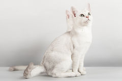 White cat. Cute white two cats sitting Royalty Free Stock Photos