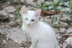 White cat with different color of eyes Royalty Free Stock Image