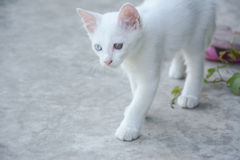 White cat with different color of eyes Stock Photos