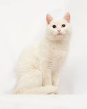 White cat with different colored eyes on gray Royalty Free Stock Photo
