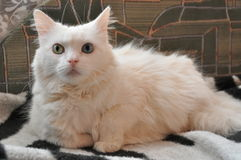 White cat, different eyes Royalty Free Stock Images