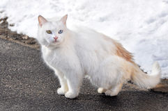 White cat with different eyes on the road Royalty Free Stock Photos