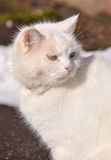 White cat with different eyes on the road Stock Photos