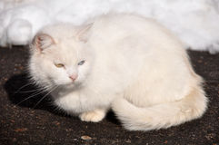 White cat with different eyes on the road Royalty Free Stock Images