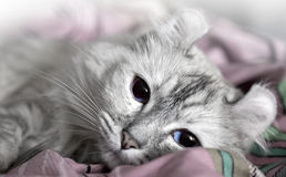 White cat drowsing on the bed. American curl. White cat drowsing on the bed Stock Image