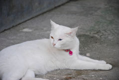 White Cat Eye Color Yellow and blue. Heterochromia Royalty Free Stock Images