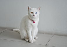 White Cat Eye Color Yellow and blue heterochromia. White Cat Eye Color Yellow and blue Royalty Free Stock Photos
