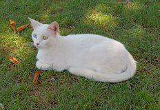 The white cat with eyes of different color sits on a green grass in the afternoon under the shade Royalty Free Stock Photos