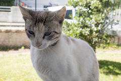 White cat face on background. Royalty Free Stock Images