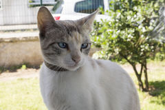 White cat face on background. Royalty Free Stock Photo